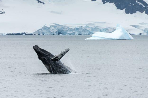 Humpback whale breach in Antarctica
