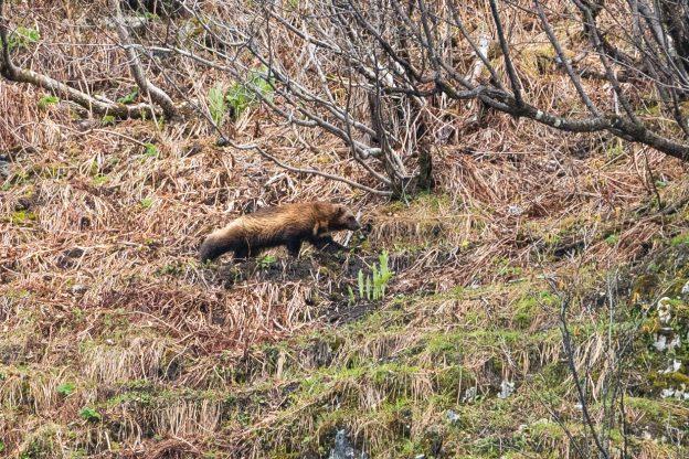 A wolverine in Alaska