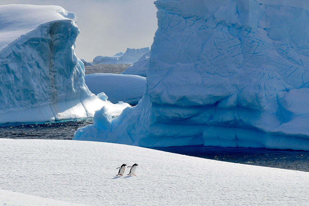Cute penguins walking in front of Antarctic glaciers