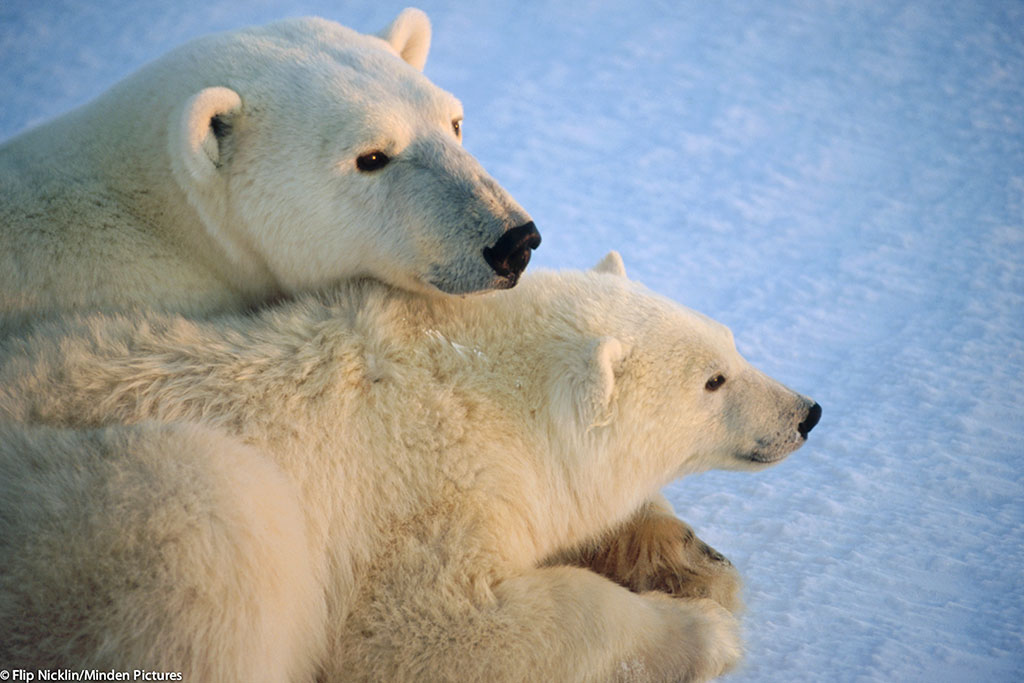 A polar bear mother and cub in the Arctic