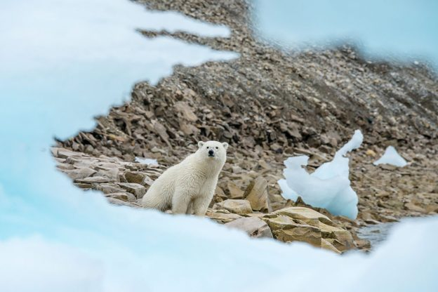 A polar bear in Arctic Svalbard