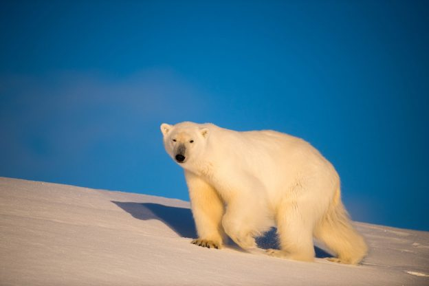 Polar bear in Arctic Svalbard
