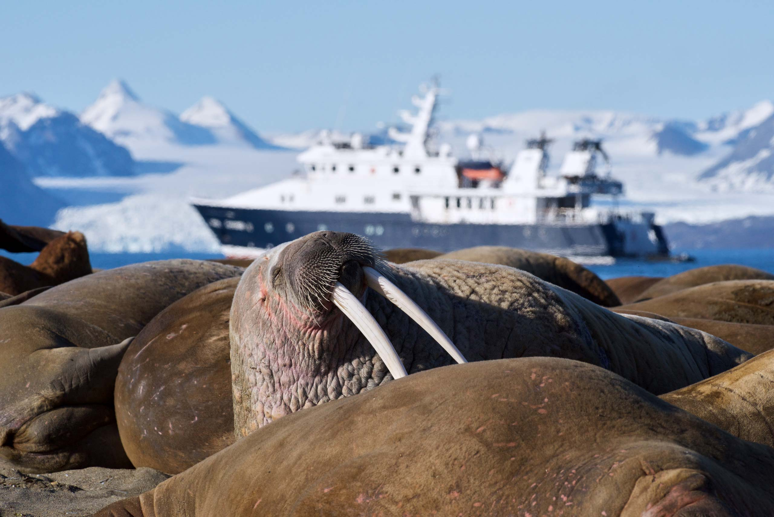 Walrus and Hanse Explorer in the Arctic