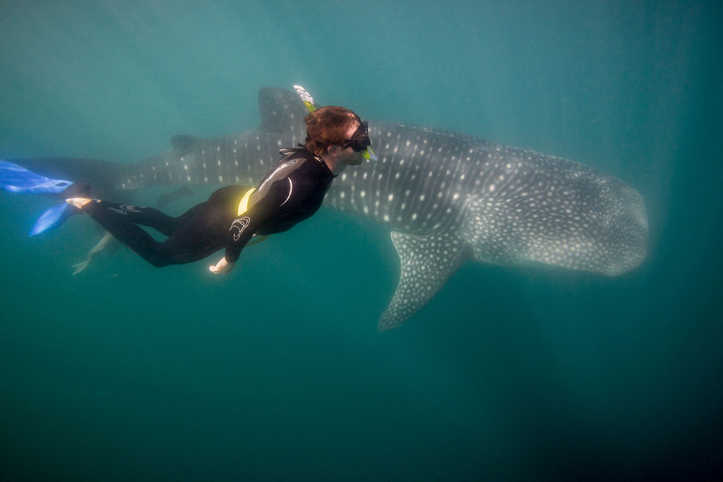 Swimming with Whale Shark in Baja