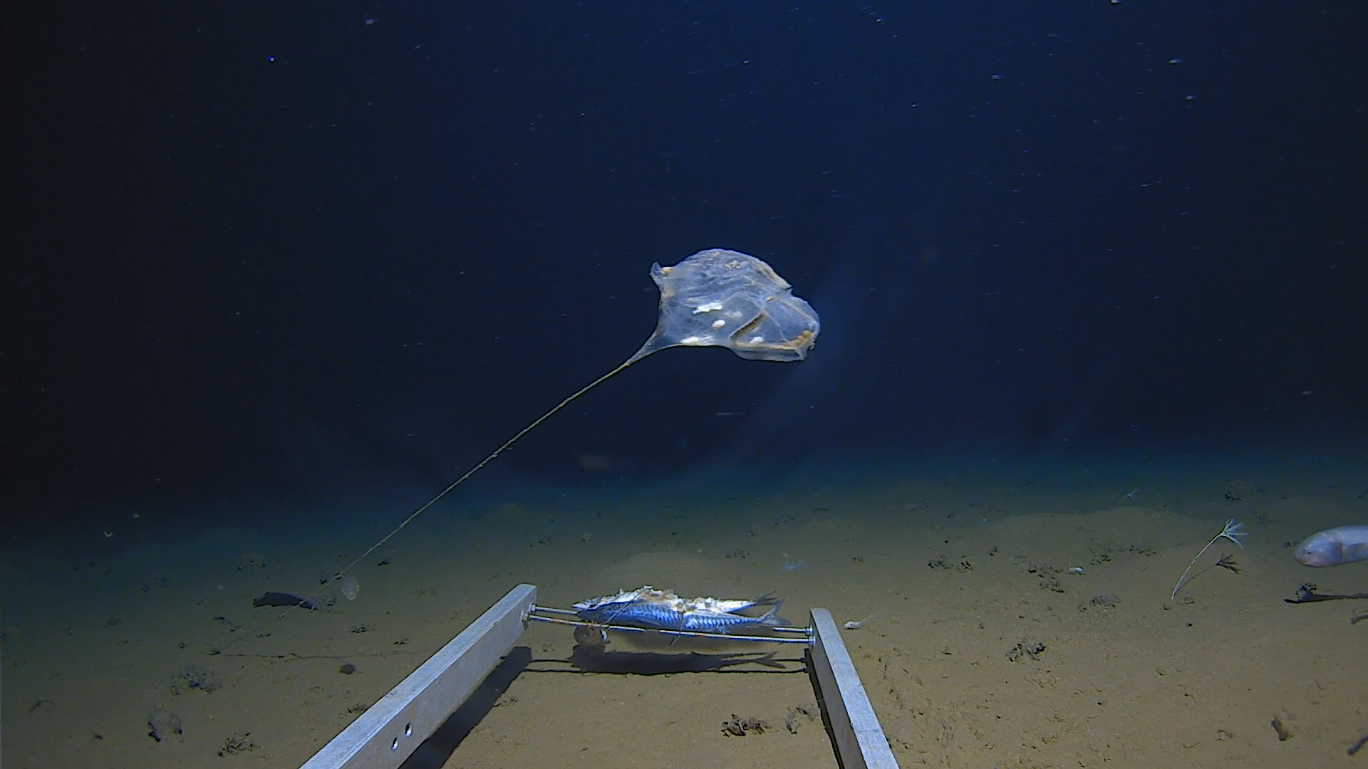 Five Deeps Expedition may have discovered a new species