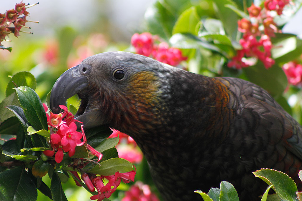 Kea bird New Zealand