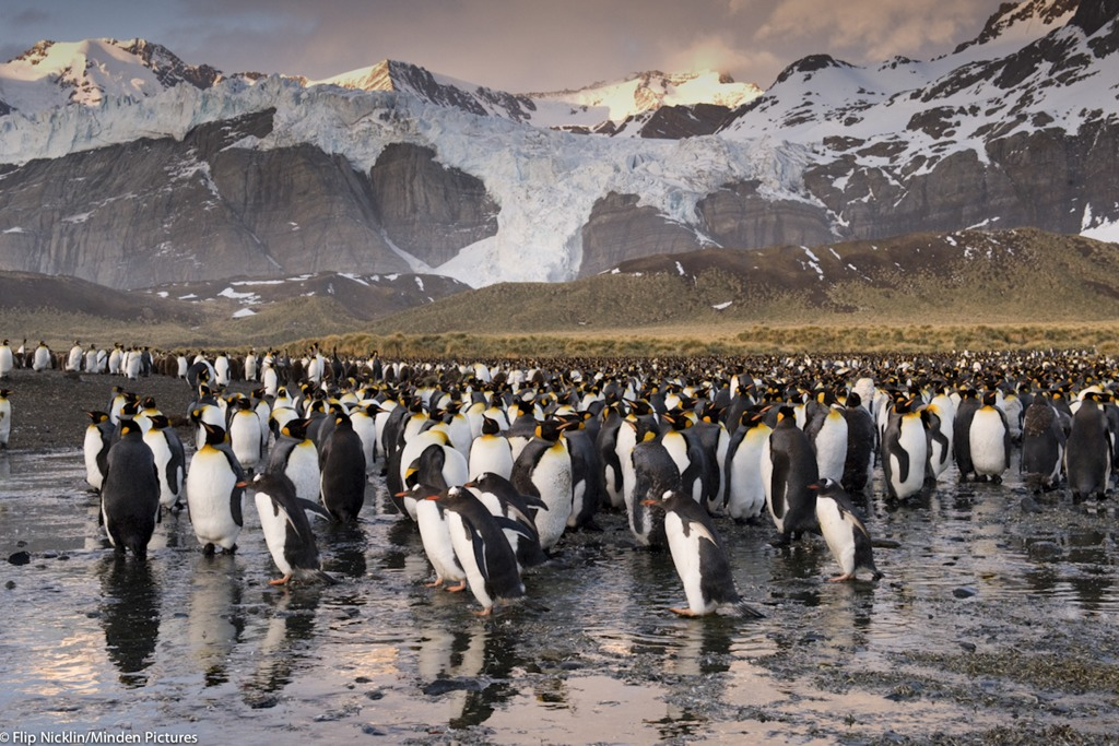 King Penguin (Aptenodytes patagonicus) colony in Gold Harbor, South Georgia